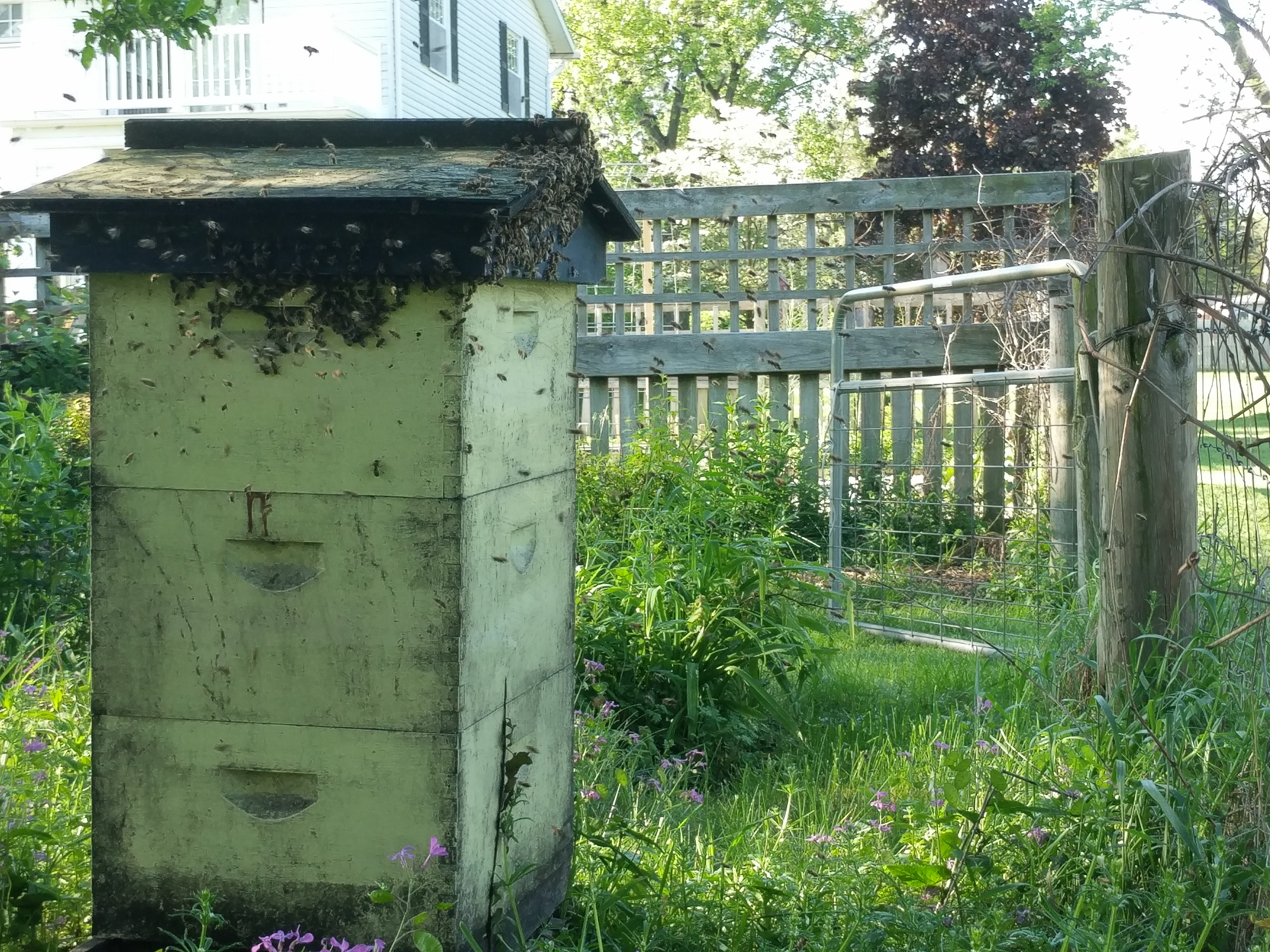 A honeybee swarm congregating on an old beehive