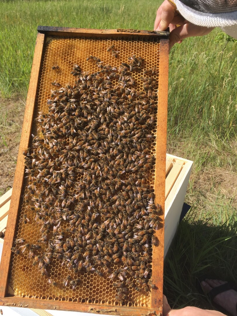 A frame of bees working on brood comb.